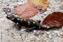 Salamander im Herbst