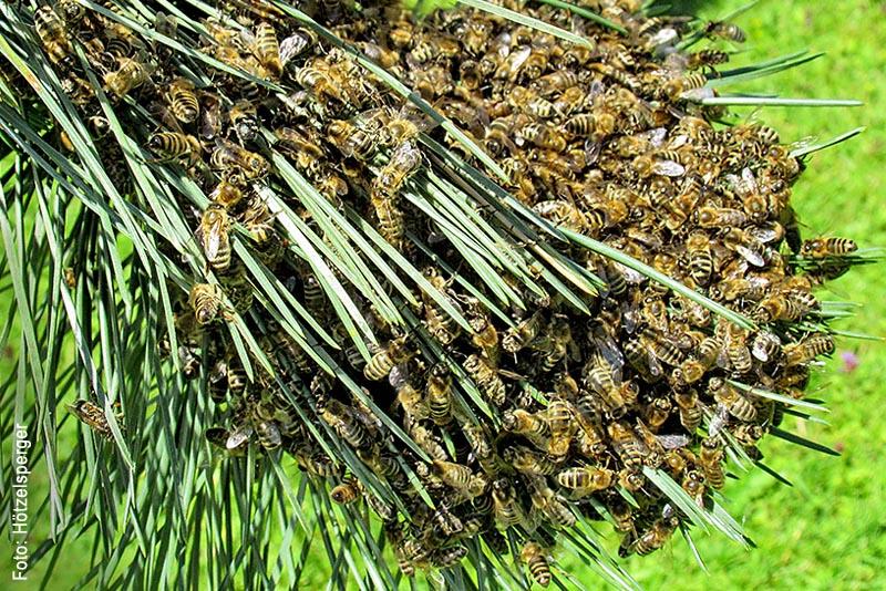 Bienen schwärmen normalerweise im Mai und Juni aus, manchmal schon Ende April. In diesem Jahr fand die Wanderung dieses Schwarms interessanterweise an Fronleichnam statt. Dabei folgt der Schwarm der Königin. Nach dem Einfangen stellt sich für den Imker daher die Frage: Wo steckt die Königin?