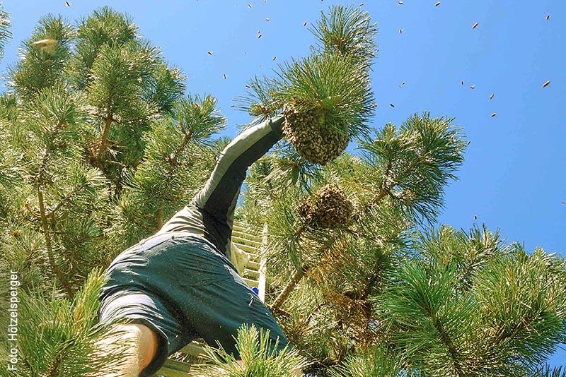 Außergewöhnlich hoch ließ sich am Fronleichnamstag ein zugeflogener Bienenschwarm in Prien-Prutdorf nieder. Ohne Leiter und Wassersprühflasche ging an dieser Kiefer nichts.