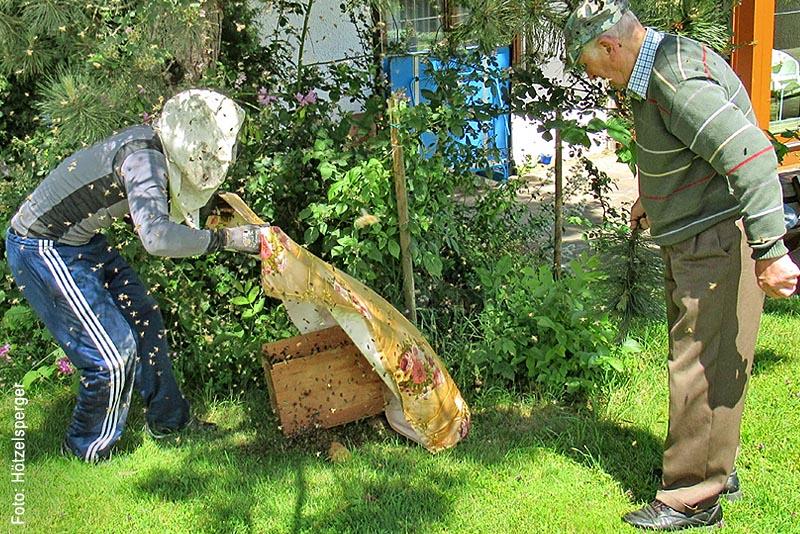 Ob das aktuelle Jahr ein gutes Honigjahr wird, wird sich nach Ansicht der Imker erst noch zeigen: Mit Leiter, Wasserbesprühung und Ast-Abschneidungen wurde das neue Bienenvolk auf den Boden und in den vorgesehenen Kasten in ihr neues Zuhause gebracht.